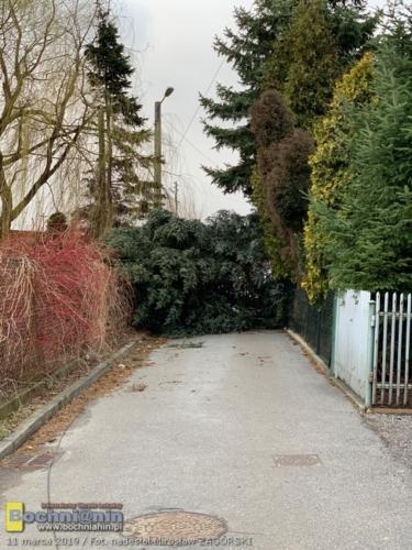 Zwalone drzewa na ul. Wygoda w Bochni.